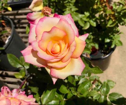Rose, 'Sheila's Parfum'