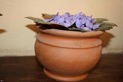 Saintpaulia, Gesneriaceae