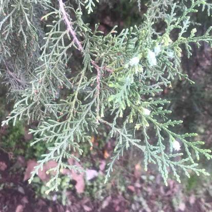 Platycladus orientalis