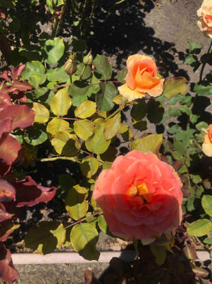 Rose floribunda, 'Brass Band', Rosaceae