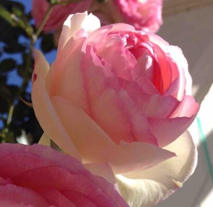 Rose, Pierre de Ronsard, Rosaceae