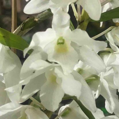 Dendrobium virginalis, Orchidaceae