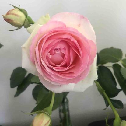 Rose, 'Pierre de Ronsard', Rosaceae