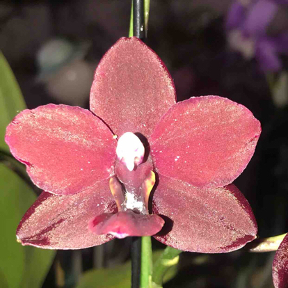 Phalaenopsis, 'Mei Suzi', Orchidaceae