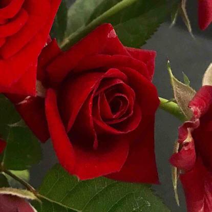 Rose, 'Karina'