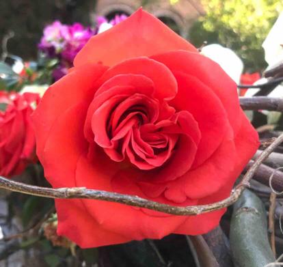 Rose, Rose family