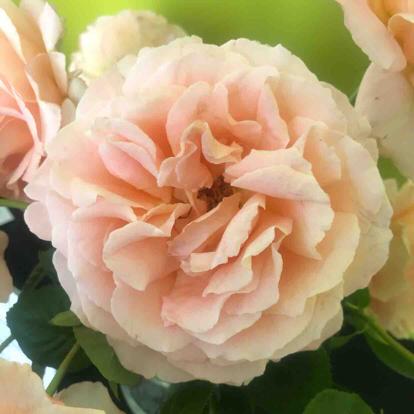 Rose, 'Polka'