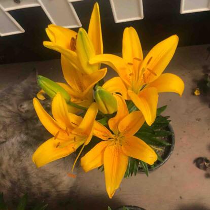Lily, Daylily