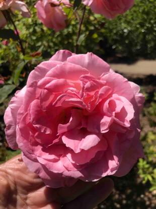 Rose, hybrid tea, 'Comtesse de Provence' , Rosaceae