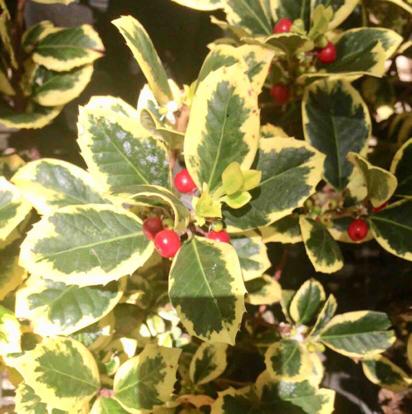Ilex aquifolium, 'Argentea Marginata'