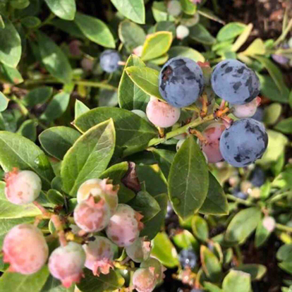 Vaccinium corymbosum, Blueberry