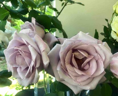 Rose, 'Mainzer Fastnacht', Rosaceae