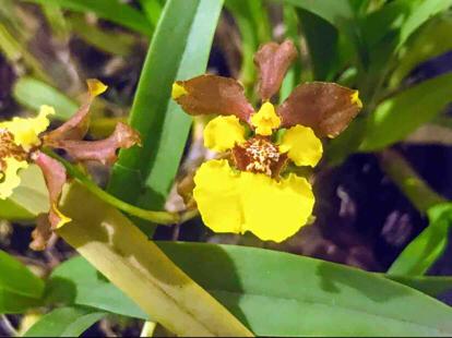 Gomesa croesus, Orchidaceae