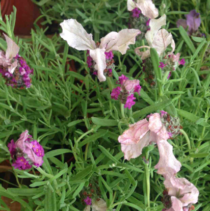 Lavender, French lavender, Common sage, English lavender, Nepeta, Pink family