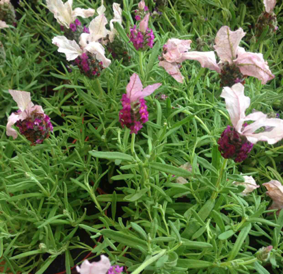 Lavender, French lavender, English lavender, Pink family, Common sage