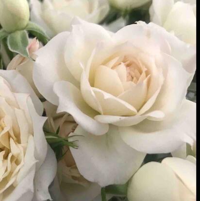 Rose, 'Bridal Meillandina', Rosaceae