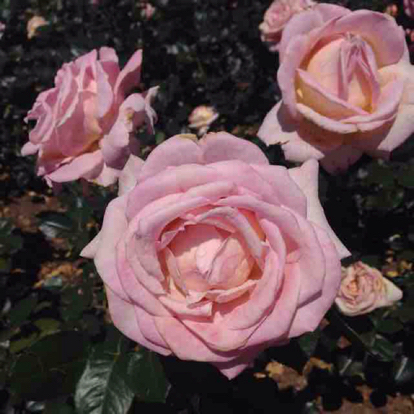 Rose, 'Elle', Rosaceae