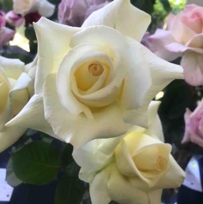 Rose, 'Caroline de Monaco', Rosaceae
