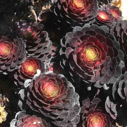Aeonium arboreum, 'Atropurpureum'