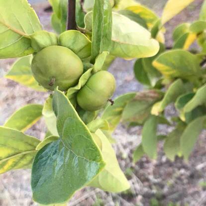 Diospyros kaki, ' Fuyu', Ebenaceae