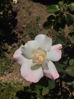Rose 'Love's promise', Rosaceae