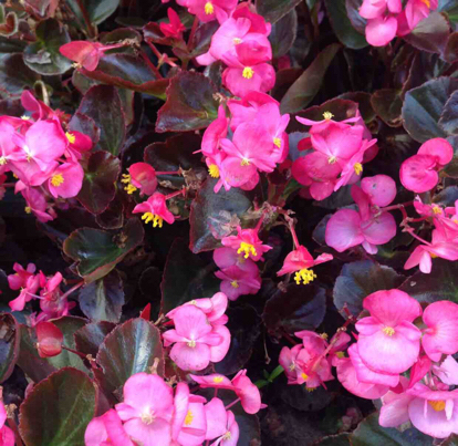 Begonia x benariensis