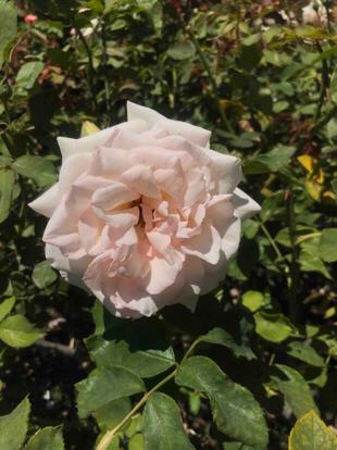 Rose, Hybrid Tea, 'White Delight', Rosaceae