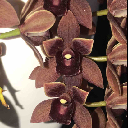 Cymbidium, Dorothy Stockstill, Orchidaceae