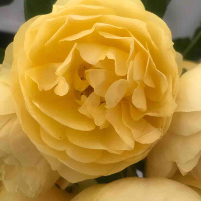 Rose, 'Graham Thomas', Rosaceae