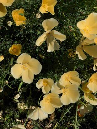 Violet family, Evening primrose, Herbaceous plant