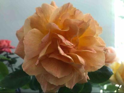Rose, 'Jean Giono'