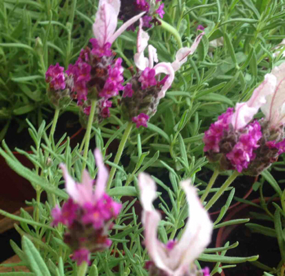 Lavender, French lavender, Grass, Pink family, Hyssopus