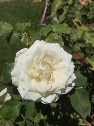 Rose, hybrid tea, 'Tineke', Rosaceae
