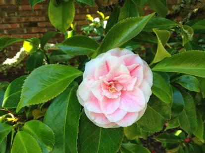 Japanese camellia, 'Panache'