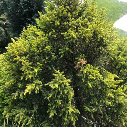 Cupressus macrocarpa, 'Goldcrest'