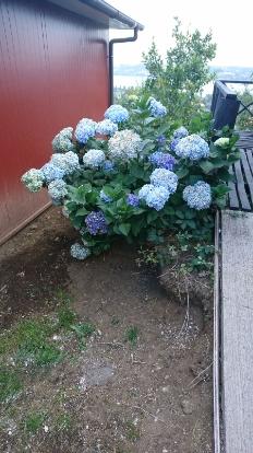 Hydrangea, Hydrangeaceae, Cornales
