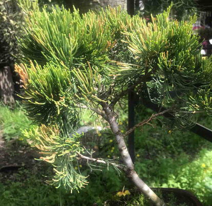 Juniperus chinensis, Bonsai