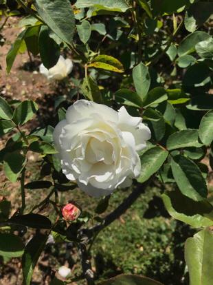 Rose 'Via Mala', Rosaceae