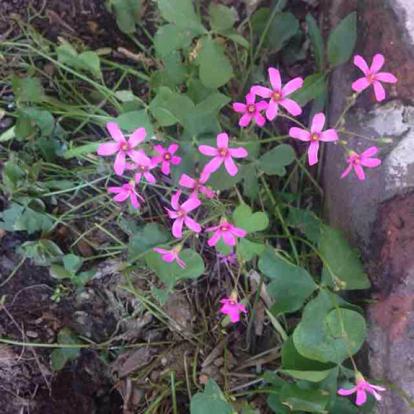 Oxalis rosea