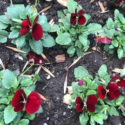 Viola tricolor var. hortensis