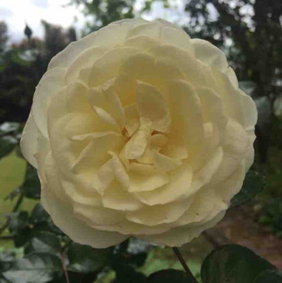 Rose Luminis Floribunda  Strong fruity fragrance Ht 1 m