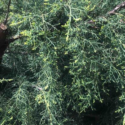 Juniperus chinensis, 'Pfitzeriana Aurea'