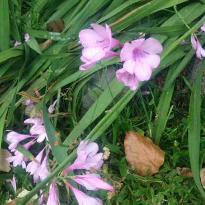 Watsonia borbónica