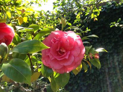 Japanese camellia, 'Romany'