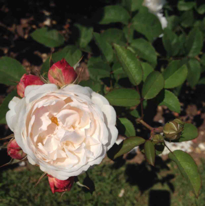 Rose, 'Winchester Catedral', Rosaceae
