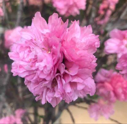 Cherry blossom, Blossom