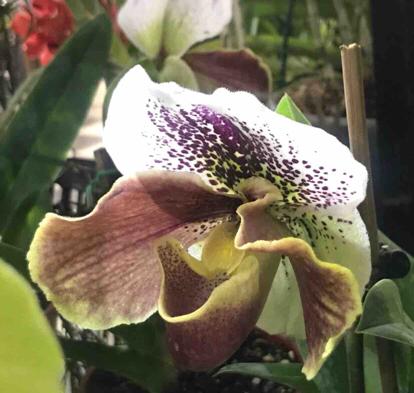 Paphiopedium, Orchidaceae