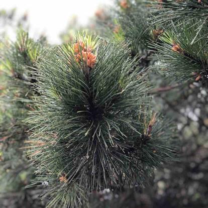 "Pinus nigra, "" Rondello"""