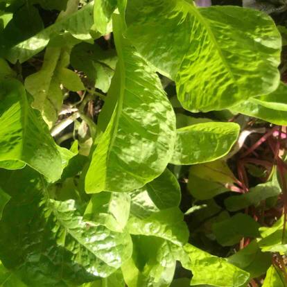 Romaine lettuce, Lettuce, Grass