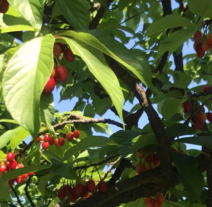 Prunus serrulata, Sakura